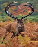 Heart Shaped Antlers
