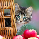Kitten &  Apples...