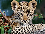 Baby Leopard ...