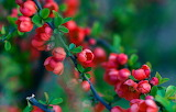 Branch of a quince