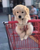 Retriever puppy goes to the market