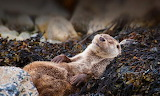Sleepy Otter