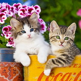 Two Lovely Tabbies...