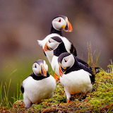 Newfoundland Elliston Atlantic Puffin...