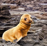 *Galapagos Sea Lion Pup...