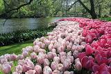 Spring Tulips - Photo from Piqsels id-zojxs