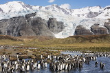 King Penguin colony in Antarctica from Microsoft Jigsaw by auric