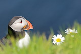 ☺ Puffin and Daisies...