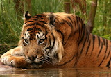 Believed To Be Extinct The Javan Tiger