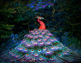 ^ Red Peacock by Michael Richards
