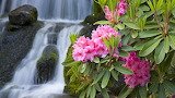 Waterfall & rhododendron