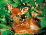 White-tailed Fawn...