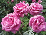 Canadian pink rose