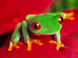 Red-Eyed Tree Frog...