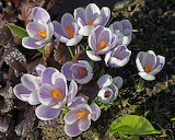 Crocus Flower CC0 from Wikimedia Commons
