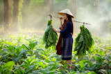 Asian girl carrying tobacco leaves