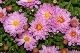 Chrysanthemum indicum is a flowering plant commonly called India