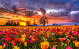 ^ Tulip field at sunset
