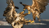 Animals Birds Real two eagles 095292