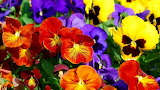 #Pretty Pansies