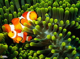 Clown Anemonefish, Indonesia...