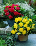 ^ Double begonia in red and yellow