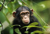 Young Chimpanzee...