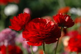 Red Flowers...