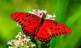Papallona - Butterfly