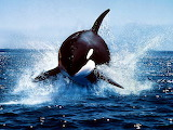 Killer Whale Breaching...
