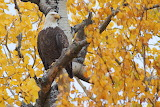 Eagle Enjoying Fall