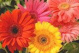 ^ Gerbera daisy, orange, yellow, pink