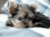 Yorkshire Terrier Puppy...