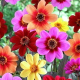 colorful flower faces