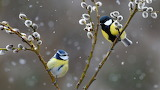 Blue Tit and Great Tit, North Vosges R.N.R. France