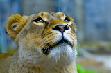 Lioness Looking Up...