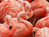 Flock of Pink Flamingos...