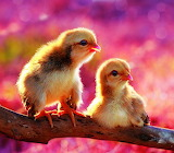 Couple of Chicks...