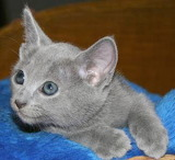 Russian Blue on blue