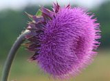 A Variety of Thistle